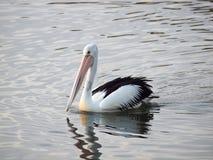 Australian Pelican (Pelicanus Conspicillatus) Stock Image