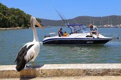 Australian pelican with pleasure boat in background Stock Photo