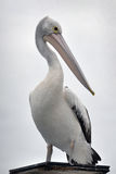 Australian Pelican portrait Royalty Free Stock Photography