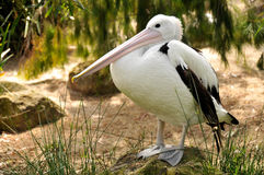 Australian pelican is posing for the camera Royalty Free Stock Image