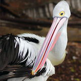 Australian pelican close-up Stock Image