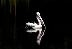 Australian pelican with reflection royalty free stock photo