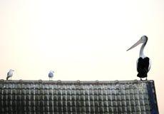 Australian pelican on roof looking seagulls, forster lake, australia, Stock Image