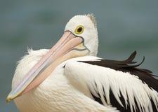 Australian Pelican Stock Photo