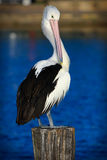 Australian Pelican standing on a post. Royalty Free Stock Photo