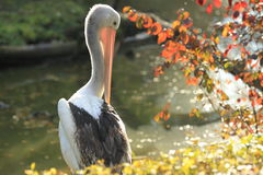 Australian pelican Royalty Free Stock Images
