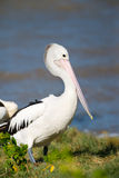 Australian Pelican Standing, with warm light, Queensland Royalty Free Stock Photography