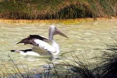 Australian Pelican stretching wings Royalty Free Stock Photos