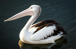 Australian Pelican Swimming in Dark Water Stock Photo