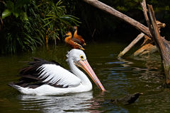 Australian Pelican swimming in pond Stock Photo