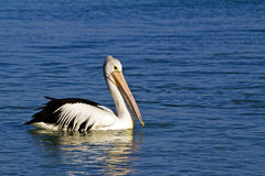 Australian Pelican Royalty Free Stock Photography
