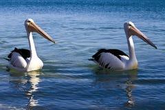 Australian Pelican Stock Image
