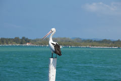 Australian pelican. Waiting for the catch royalty free stock images