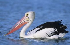 Australian Pelican on water Stock Photo