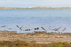 Australian Pelican water birds flying near waterfront at Coorong Royalty Free Stock Image