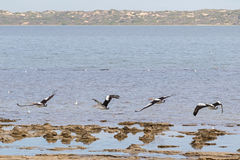 Australian Pelican water birds flying near waterfront at Coorong Stock Photos