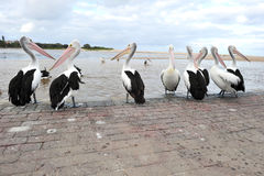 Australian pelican, white bird, australia Royalty Free Stock Photos