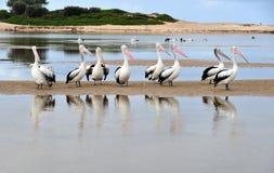 Australian pelican, white bird, australia Stock Images