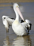 Australian Pelican, White Bird, Australia Royalty Free Stock Photo