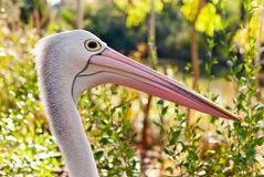 Australian pelican in wild nature Stock Image