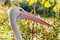 Australian pelican in wild nature Stock Image