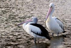 The Australian pelican (Pelecanus conspicillatus) Stock Images