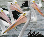 Australian Pelicans. Photo of a bunch of pelicans swimming around near a fisherman's boat in Goolwa Australia Stock Images