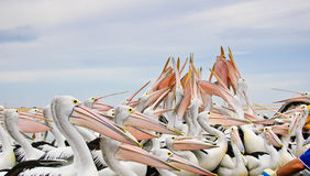 Australian pelicans Stock Photo