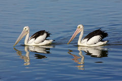 Australian Pelicans Royalty Free Stock Images