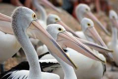 Australian Pelicans Stock Images