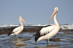 Australian pelicans Royalty Free Stock Photography