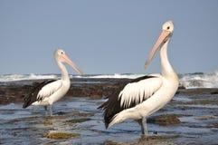 Australian pelicans Royalty Free Stock Photography