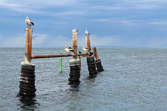 Australian Pelicans. Group of Australian Pelicans on top of mooring post in Kangaroo Island, Australia stock image