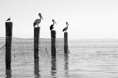 Australian pelicans. Black and white image of Australian pelicans perched on posts and shark net stock photo