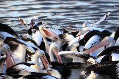Australian Pelicans Feeding Stock Image