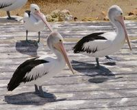 Australian Pelicans on a jetty Royalty Free Stock Image