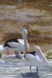 Australian Pelicans on a jetty Royalty Free Stock Images