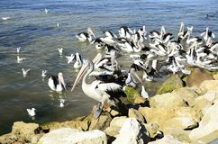 Australian Pelicans Stock Photography