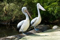 Australian pelicans   in the Lake Royalty Free Stock Photos