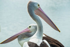 Australian pelicans looking different directions. Royalty Free Stock Photo
