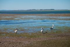 Australian Pelicans looking for food at the beach around Brisbane, Australia. Australia is a continent located in the south part o. F the earth In summer time royalty free stock photo