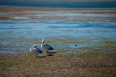 Australian Pelicans looking for food at the beach around Brisbane, Australia. Australia is a continent located in the south part o. F the earth In summer time stock photos