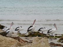 Australian Pelicans at the ocean front Royalty Free Stock Photos
