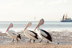 Free Australian Pelicans On The Beach Royalty Free Stock Image - 152820746