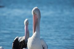 Australian Pelicans. Outside amongst nature during the day time stock photography