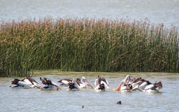 Australian Pelicans (Pelecanus conspicillatus) Royalty Free Stock Images