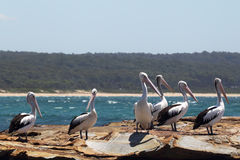 Australian Pelicans (Pelecanus conspicillatus). A group of Australian Pelicans (Pelecanus conspicillatus) sitting on a rock at the coast in South Durras in the royalty free stock images