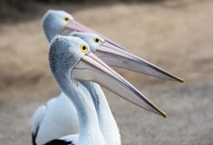 Australian Pelicans Pelecanus conspicillatus grouped up in line ready to fish on sandy beach royalty free stock images
