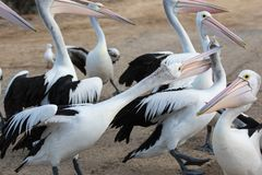 Australian Pelican Pelecanus conspicillatus grouped up ready to fish on sandy beach. Fight for fish stock photography