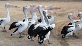 Australian Pelican Pelecanus conspicillatus grouped up ready to fish on sandy beach royalty free stock photo